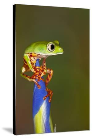 Blue-webbed gliding tree frog on Iris flower-Adam Jones-Stretched Canvas Print