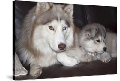 Siberian Husky Mother and puppies-Zandria Muench Beraldo-Stretched Canvas Print