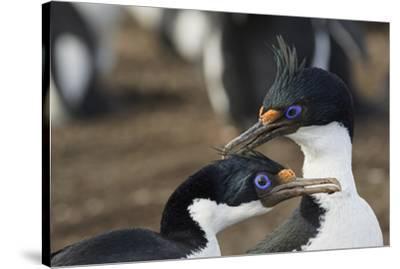 Imperial Shags, Falkland Islands-Adam Jones-Stretched Canvas Print
