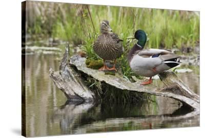 Mallard pair resting-Ken Archer-Stretched Canvas Print