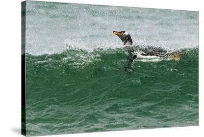 Gentoo Penguin swimming, Falkland Islands-Adam Jones-Stretched Canvas Print