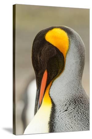 King Penguin, Volunteer Point, East Island, Falkland Islands-Adam Jones-Stretched Canvas Print