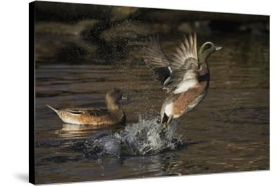 American Wigeon flying-Ken Archer-Stretched Canvas Print