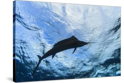 Sailfish feeding on Brazilian Sardines about 10 miles offshore from Isla Mujeres, Yucatan Peninsula-Stuart Westmorland-Stretched Canvas Print