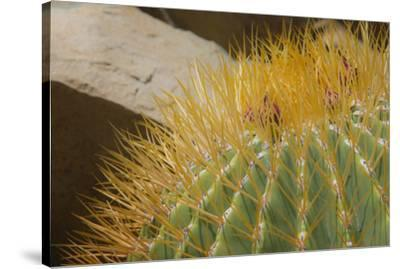 Baja, Gulf of California, Mexico. Close-up of barrel cactus.-Janet Muir-Stretched Canvas Print