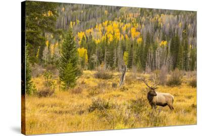 USA, Colorado, Rocky Mountain National Park. Bull elk in field.-Jaynes Gallery-Stretched Canvas Print
