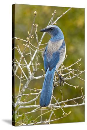 Florida scrub jay, Aphelocoma coerulescens Cruickshank Sanctuary, Florida.-Adam Jones-Stretched Canvas Print