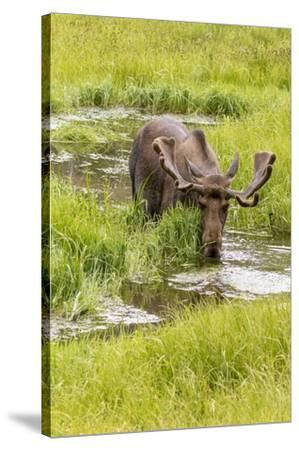 USA, Colorado. Bull moose in water.-Jaynes Gallery-Stretched Canvas Print