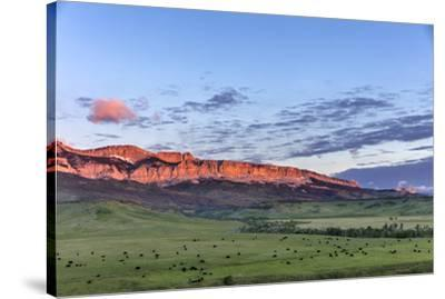 Beef cattle grazing below Walling Reef on the Rocky Mountain Front at sunrise near Dupuyer, Montana-Chuck Haney-Stretched Canvas Print