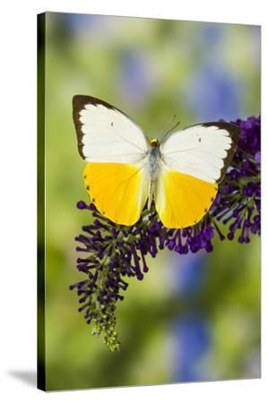 White and Yellow butterfly in the Pieridae family on purple Butterfly Bush-Darrell Gulin-Stretched Canvas Print