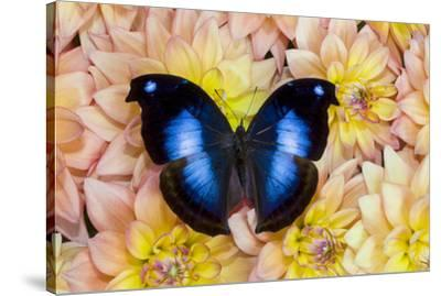 Blue Hookwing Butterfly, Napeocles jucunda on Dahlias-Darrell Gulin-Stretched Canvas Print