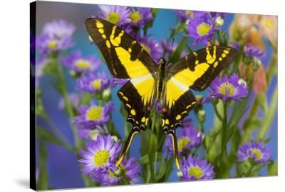 Eurytides thyastes the Orange Kite Swallowtail on Asters-Darrell Gulin-Stretched Canvas Print