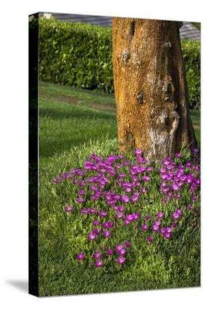 Pink flowers around a tree-Adriano Bacchella-Stretched Canvas Print
