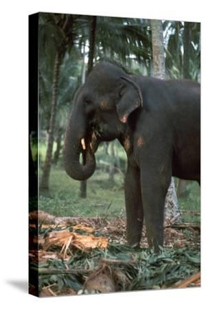 Elephant eating in Sri Lanka. Artist: CM Dixon Artist: Unknown-CM Dixon-Stretched Canvas Print