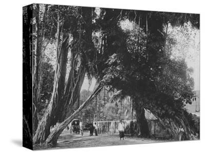'Banyan Tree at Kalutara', c1890, (1910)-Alfred William Amandus Plate-Stretched Canvas Print