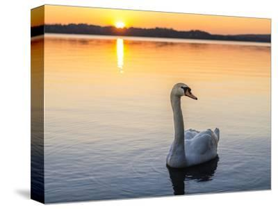 Mute swan in front of setting sun-enricocacciafotografie-Stretched Canvas Print
