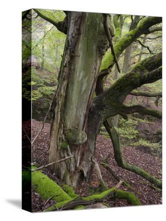 old beech, Kellerwald-Edersee National Park, Paradies, Kellerwald, Hessia, Germany-Michael Jaeschke-Stretched Canvas Print