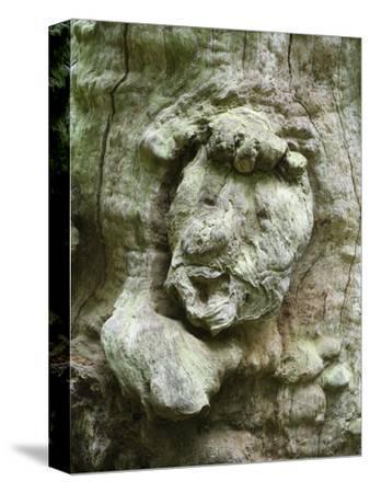 forest spirit, tree face in old beech, Urwald Sababurg, Reinhardswald, Hessia, Germany-Michael Jaeschke-Stretched Canvas Print