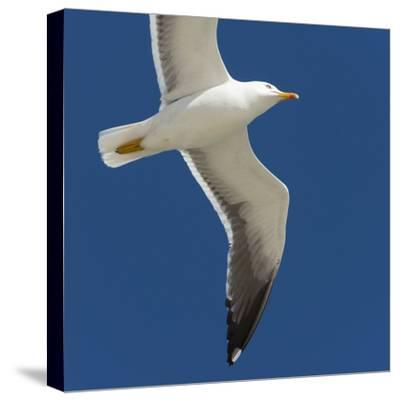 Germany, the North Sea, herring gull (Larus argentatus) in the flight.-Roland T. Frank-Stretched Canvas Print