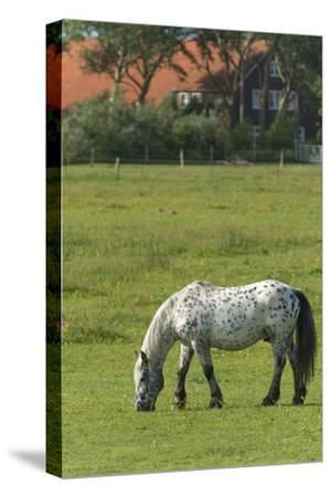 Germany, Lower Saxony, East Friesland, Langeoog, horse on the pasture.-Roland T. Frank-Stretched Canvas Print