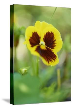 garden pansies, viola wittrockiana, blossom, close-up-David & Micha Sheldon-Stretched Canvas Print