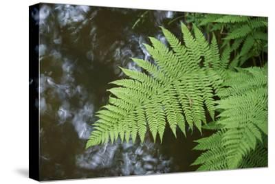male fern, Dryopteris filix-mas, brookside, spring-David & Micha Sheldon-Stretched Canvas Print