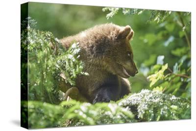 European brown bear, Ursus arctos arctos, young animal, wilderness, sidewise-David & Micha Sheldon-Stretched Canvas Print