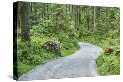 Scenery, forest way, spruce forest, Picea abies, spring-David & Micha Sheldon-Stretched Canvas Print