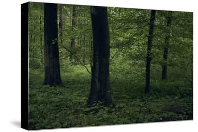 Forest in spring, dark, old trees-Axel Killian-Stretched Canvas Print