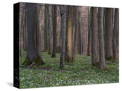 Evening in the Hainich National Park, Thuringia, Germany-Michael Jaeschke-Stretched Canvas Print