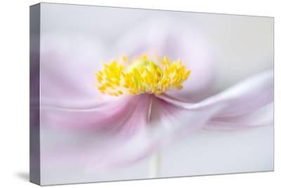 Anemone-Mandy Disher-Stretched Canvas Print