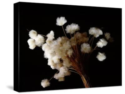 Arctic cotton, a plant common in tundra regions over much of the far north-Werner Forman-Stretched Canvas Print