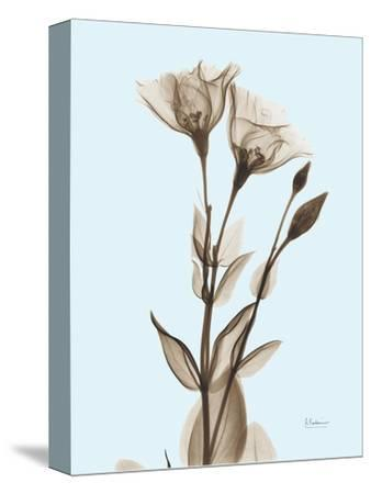 Gentian Sepia-Albert Koetsier-Stretched Canvas Print