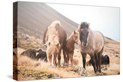 Horses of Hofn I--Stretched Canvas Print