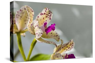 Close-up of Orchid flowers in bloom-Panoramic Images-Stretched Canvas Print
