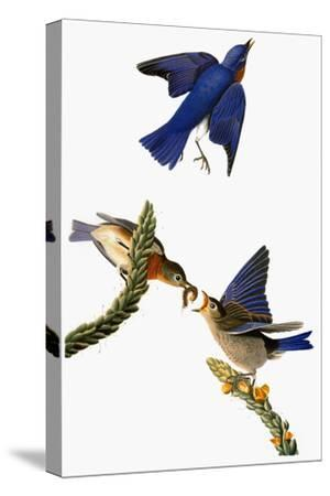 Audubon: Bluebird-John James Audubon-Stretched Canvas Print