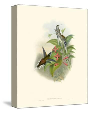 Hummingbird Delight IV-John Gould-Stretched Canvas Print