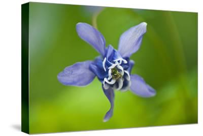 Canada, Manitoba, Winnipeg. Blue columbine flower close-up.-Jaynes Gallery-Stretched Canvas Print