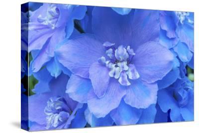 Light Blue and white delphinium larkspur.VanDusen Botanical Garden, Vancouver, British Columbia-William Perry-Stretched Canvas Print