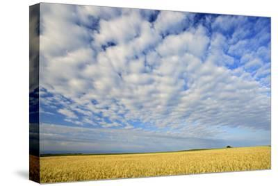 Canada, Manitoba, Holland. Wheat crop and clouds.-Jaynes Gallery-Stretched Canvas Print