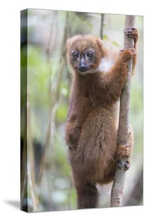 Madagascar, Akanin'ny Nofy Reserve. Female red-bellied lemur clinging to a tree with baby-Ellen Goff-Stretched Canvas Print
