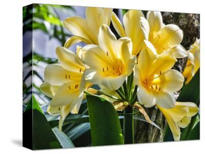USA, Pennsylvania, Kennett Square. Clivia-Hollice Looney-Stretched Canvas Print