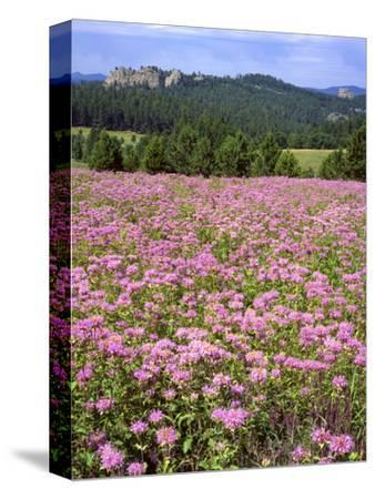 USA, South Dakota, Black Hills. Blooming horsemint flowers cover hillside.-Jaynes Gallery-Stretched Canvas Print