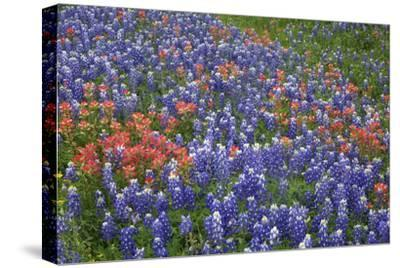 Texas Hill Country wildflowers, Texas. Bluebonnets and Indian Paintbrush-Gayle Harper-Stretched Canvas Print