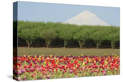 Mt. Hood and tulip fields, Willamette Valley, Oregon-Stuart Westmorland-Stretched Canvas Print