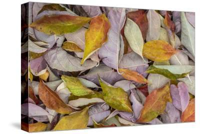 USA, Washington State, Seabeck. Fallen dogwood Leaves close-up.-Jaynes Gallery-Stretched Canvas Print