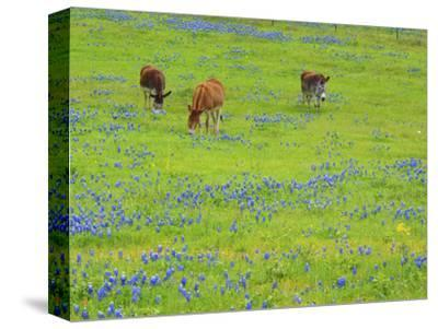 Donkey in field of bluebonnets near Llano Texas-Sylvia Gulin-Stretched Canvas Print