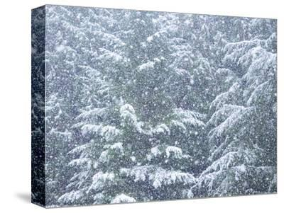 Fresh snow on evergreen trees-Sylvia Gulin-Stretched Canvas Print