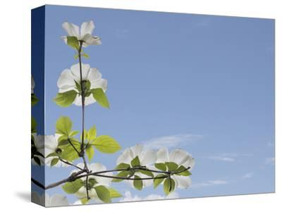 USA, Washington State, Gifford Pinchot National Forest. Pacific dogwood limbs and flowers.-Jaynes Gallery-Stretched Canvas Print