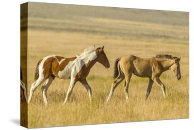 USA, Utah, Tooele County. Wild horse foals walking.-Jaynes Gallery-Stretched Canvas Print
